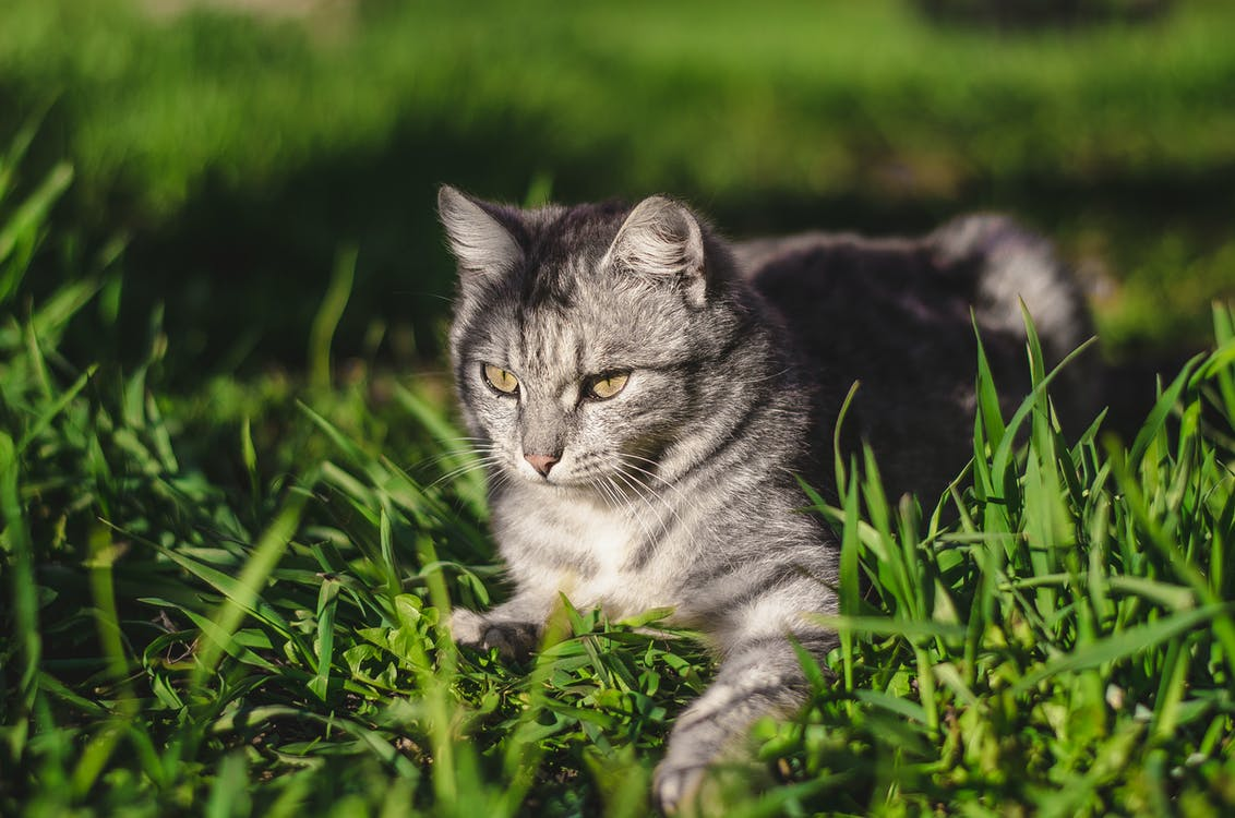Focal Focus Photography of Silver Tabby Cat Lying on Green Grass Field