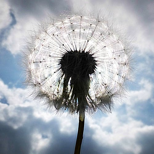 Free stock photo of clouds, cloudy, dandelion