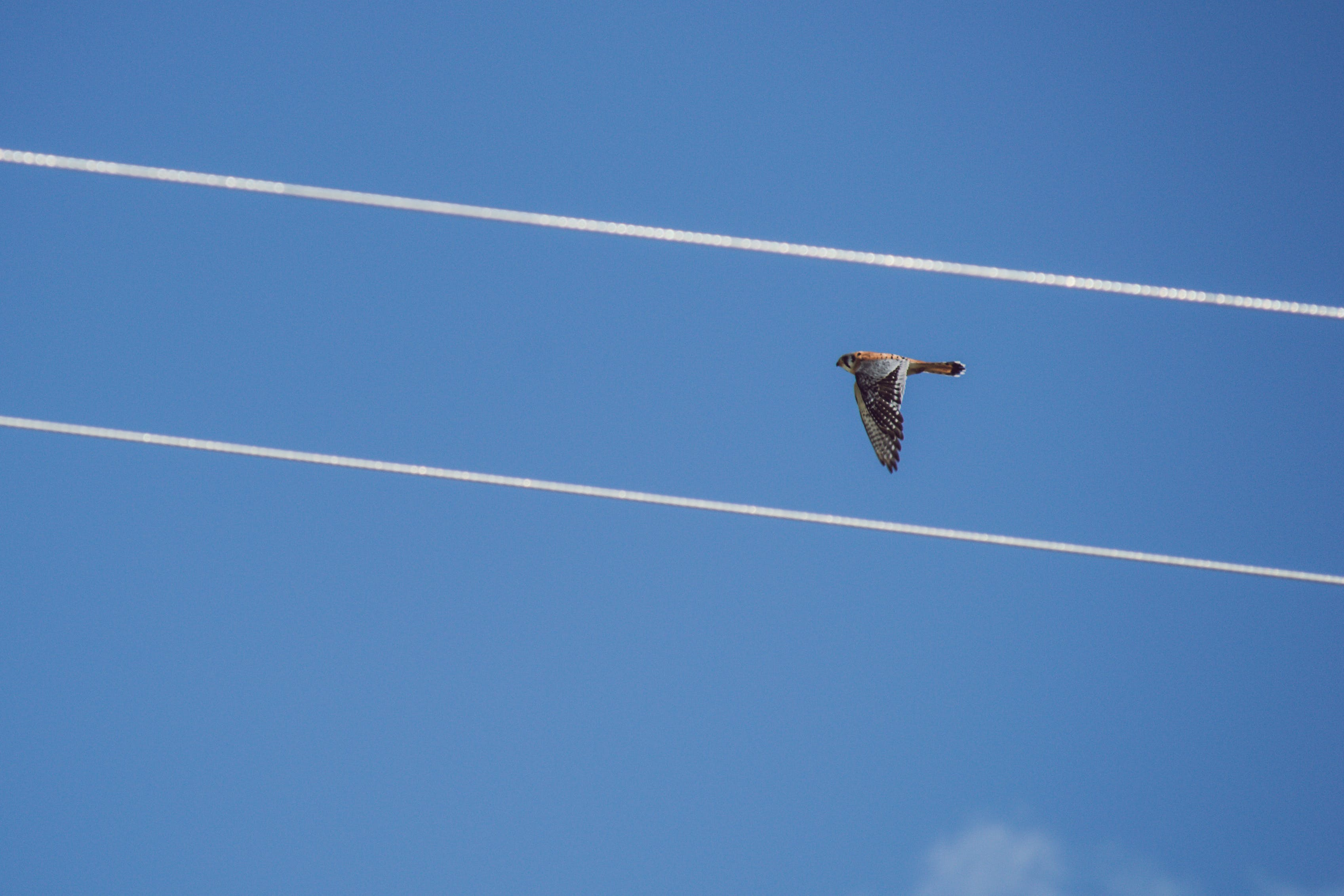 Red-tailed Hawk Flying Under Blue Sky