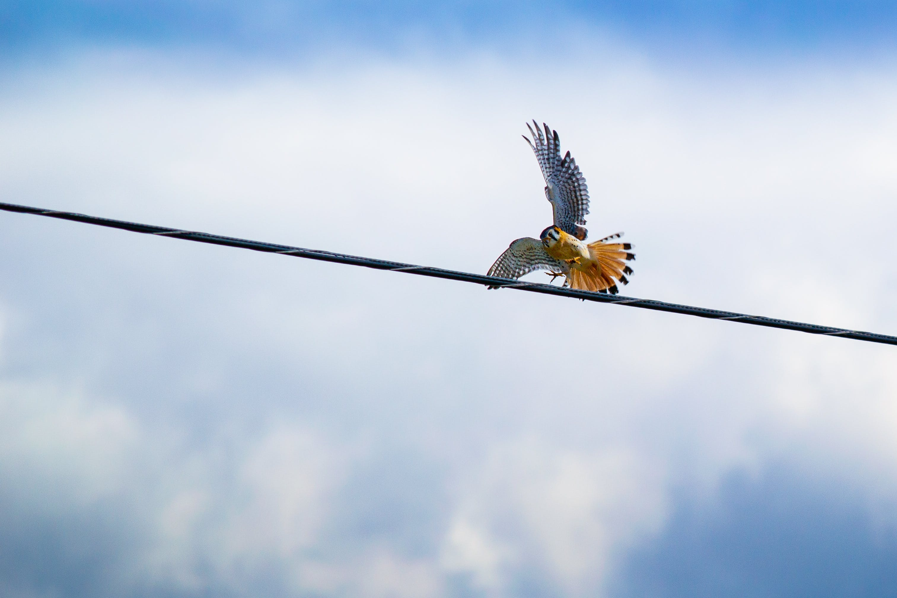 Red-tailed Hawk Flying over Black Cable