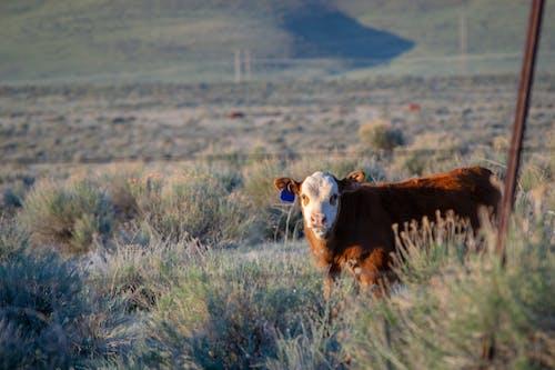 Безкоштовне стокове фото на тему «Денне світло, корова, краєвид, пасовище»