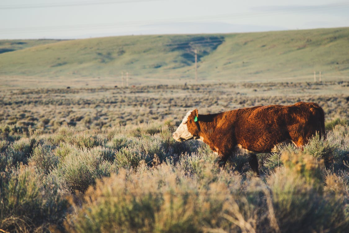 Brown and White Cattle in the Middle of Grassland