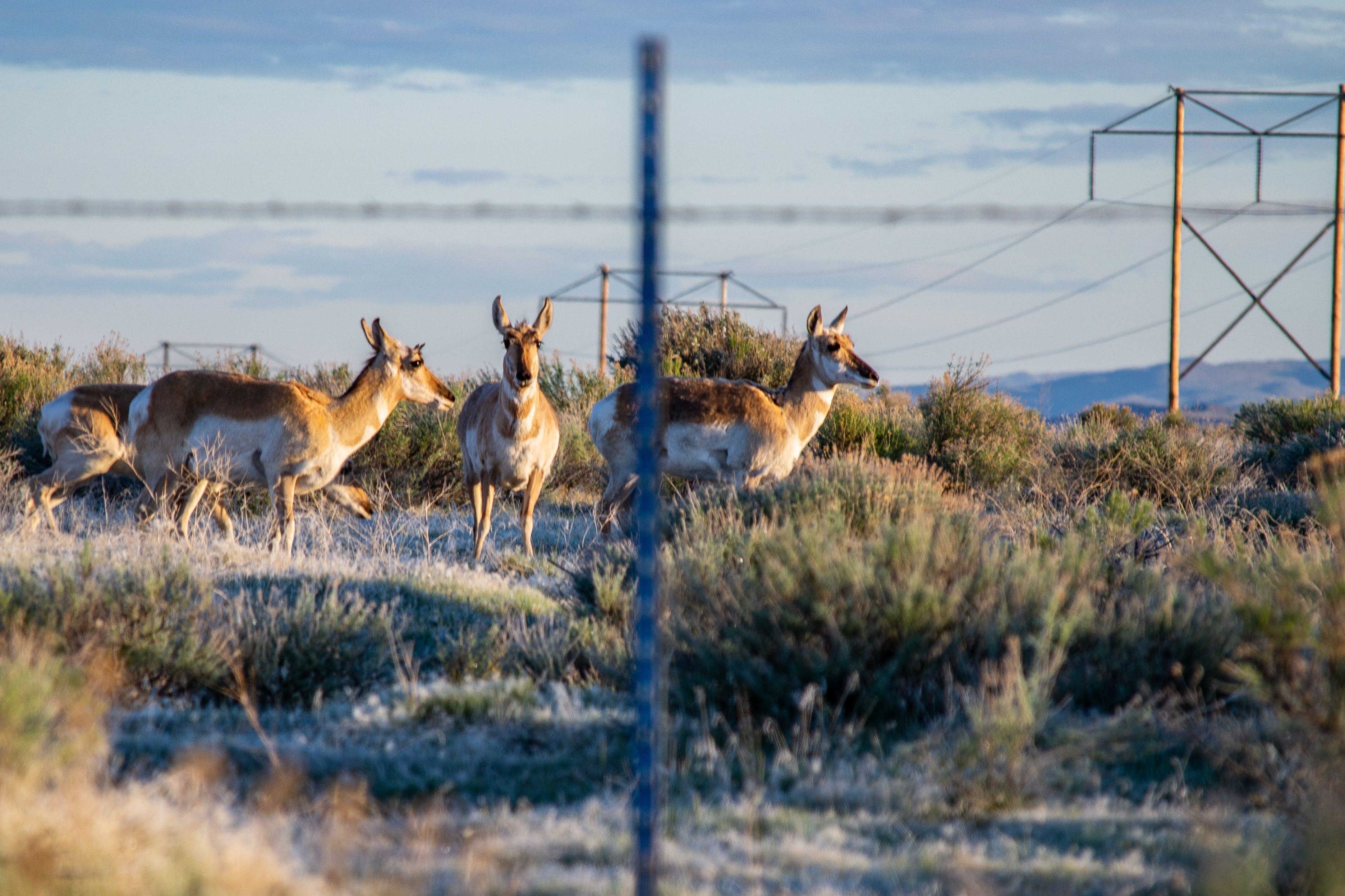 Foto d'estoc gratuïta de animal, antílop pronghorn, camp, camp de cereals