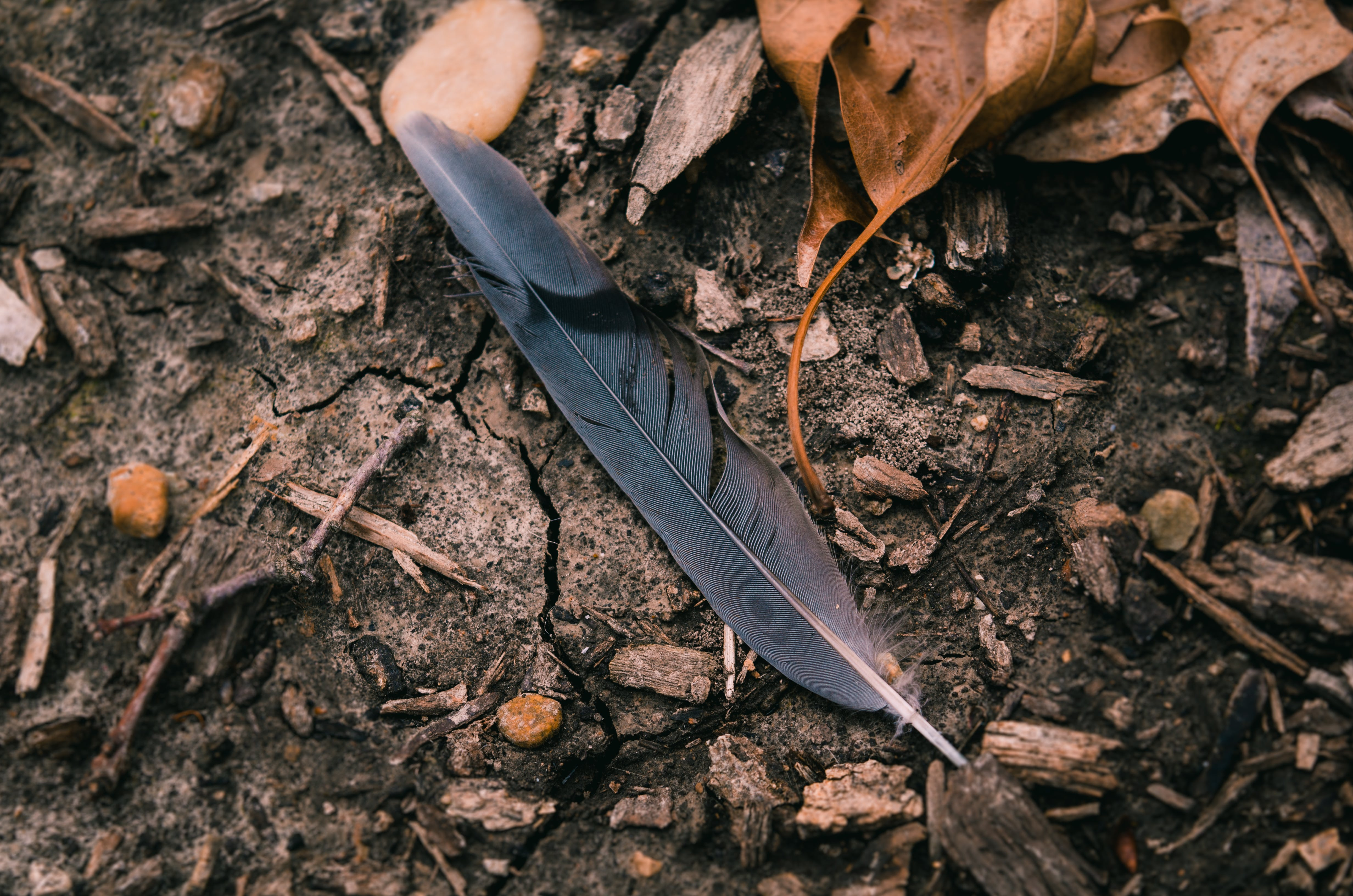 Black Feather Surrounded by Dried Leaves