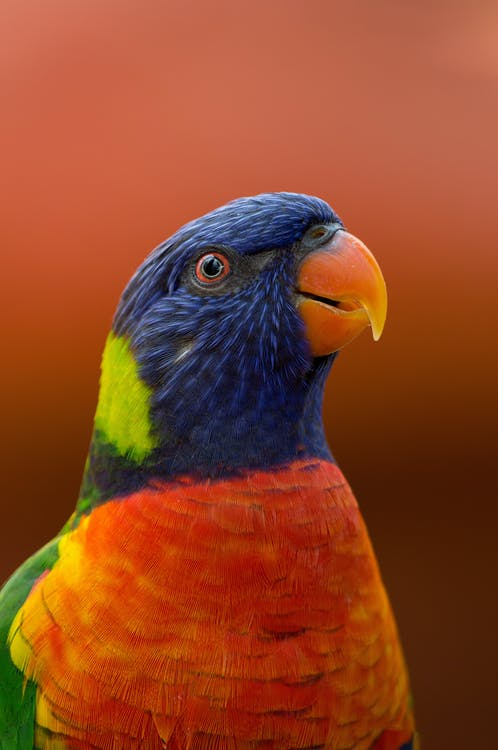 Close-up Photography of Blue, Orange, and Green Parrot