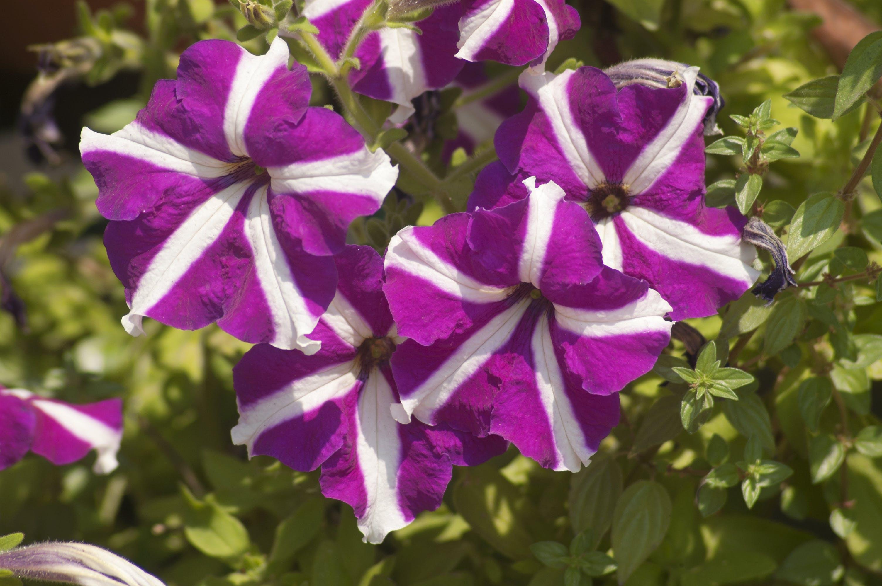 Free stock photo of flower, petunia, Pink petunia