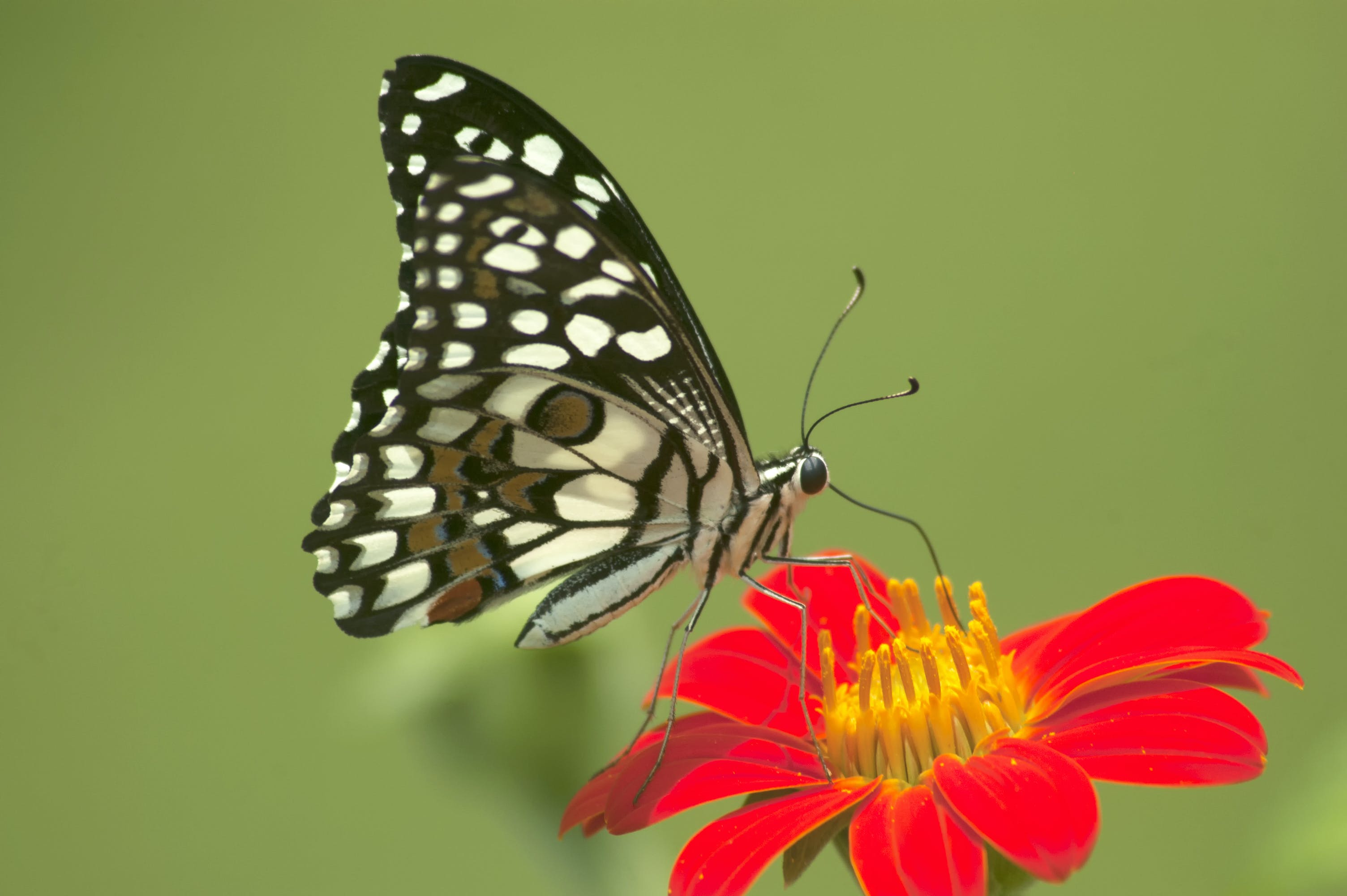 Free stock photo of butterfly on a flower, Butterfly sucking nectar, common lime butterfly