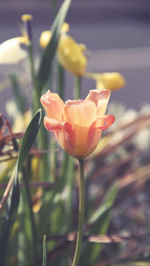 Gratis arkivbilde med oransje blomst