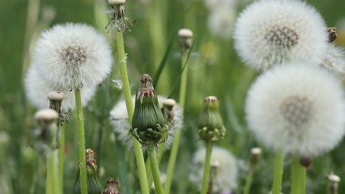 Free stock photo of dandelion, flower, green, meadow