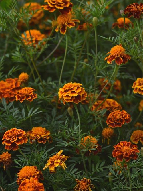 Foto profissional grátis de flores, laranja