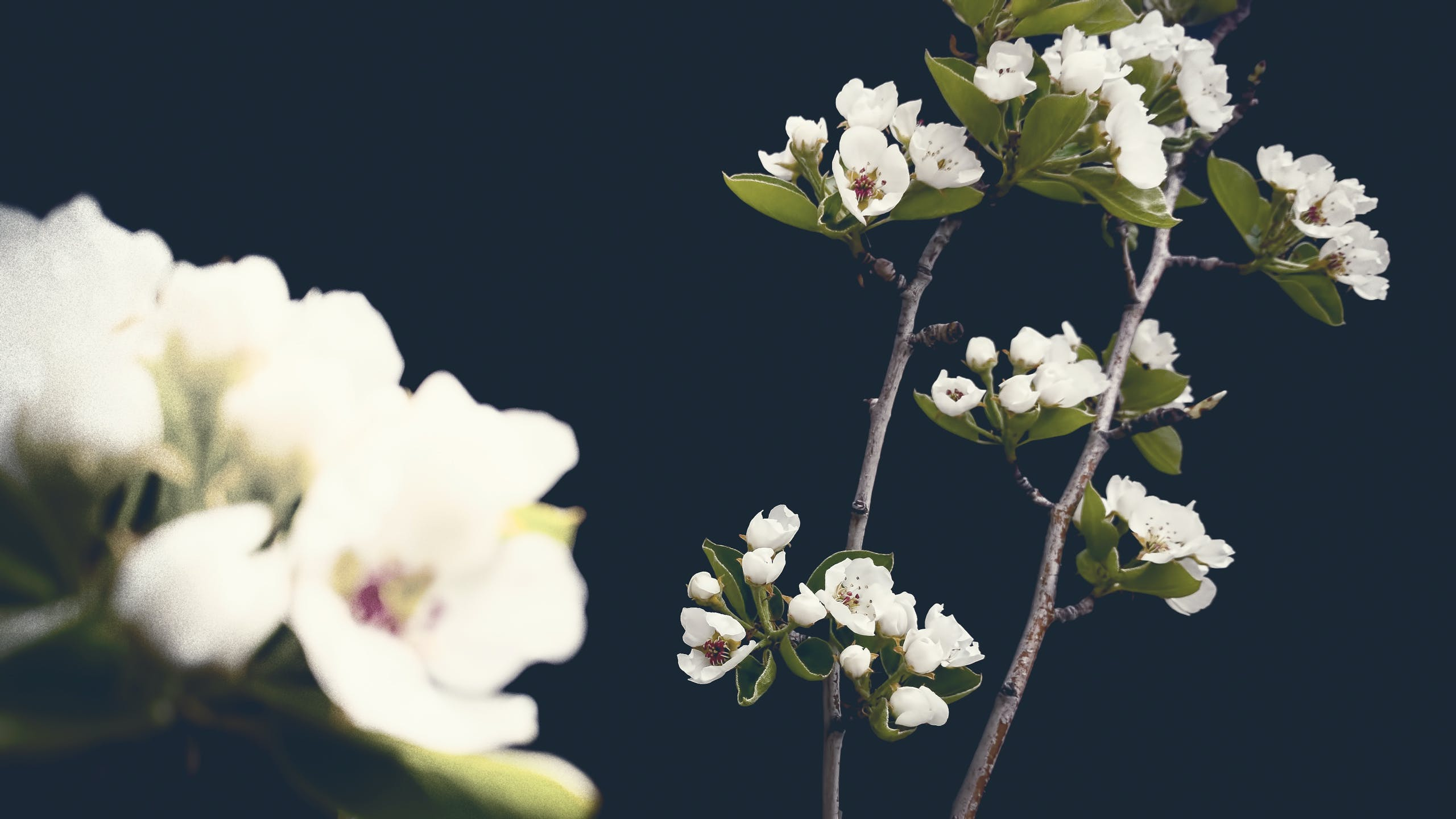 Free stock photo of flowers, blossoms, pear blossoms