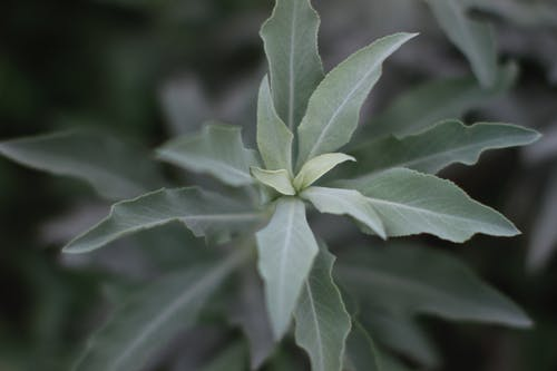 Free stock photo of 50mm, depth of field, sage, texture