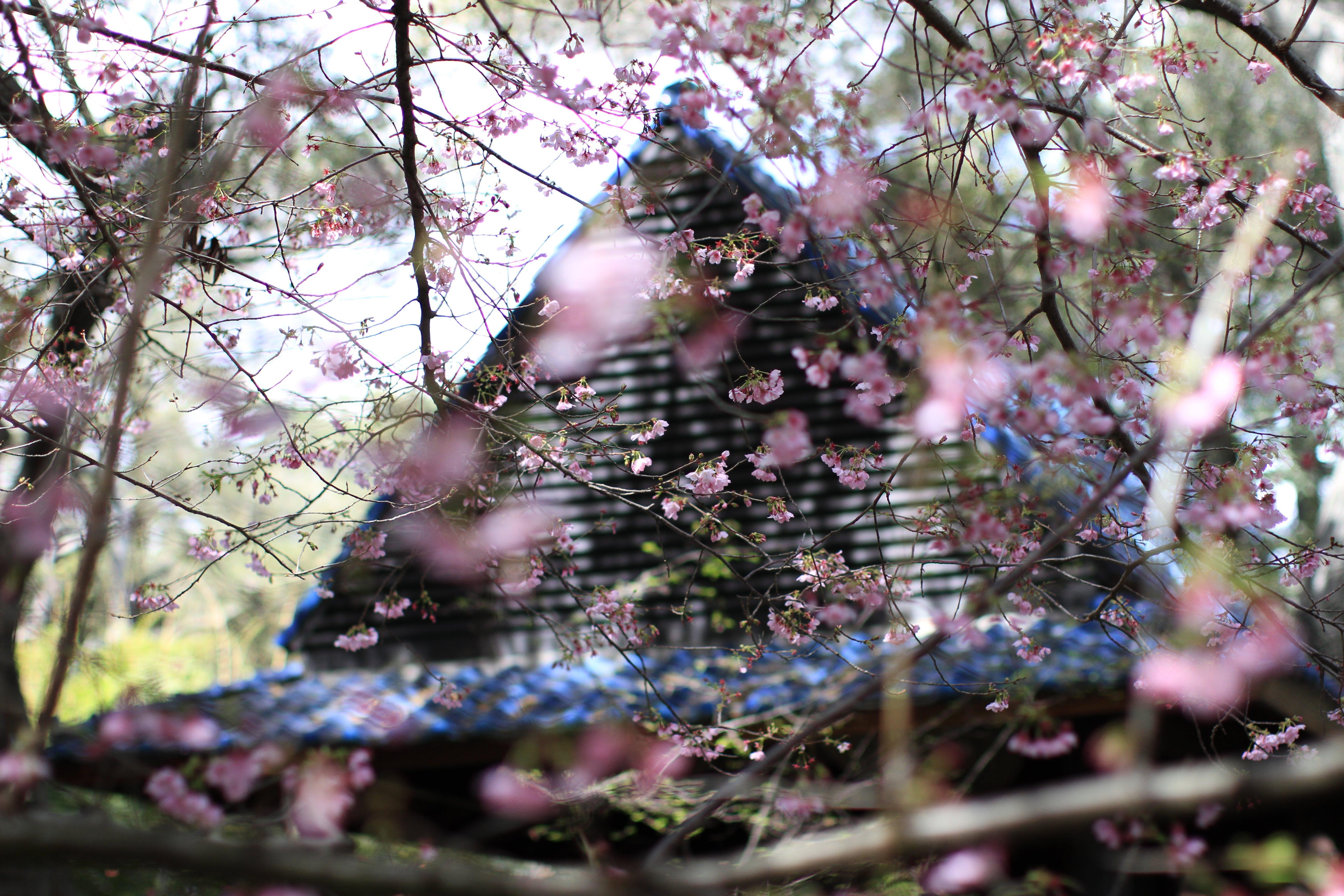 Pink Sakura Flowers Beside House