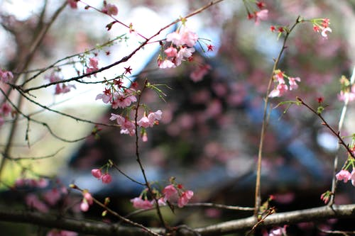 Free stock photo of cherry blossoms, depth of field, textures