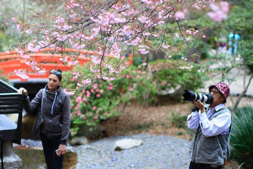 Free stock photo of cherry blossoms, depth of field, guy, pictures