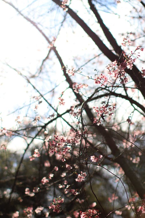 Free stock photo of cherry blossoms, depth of field