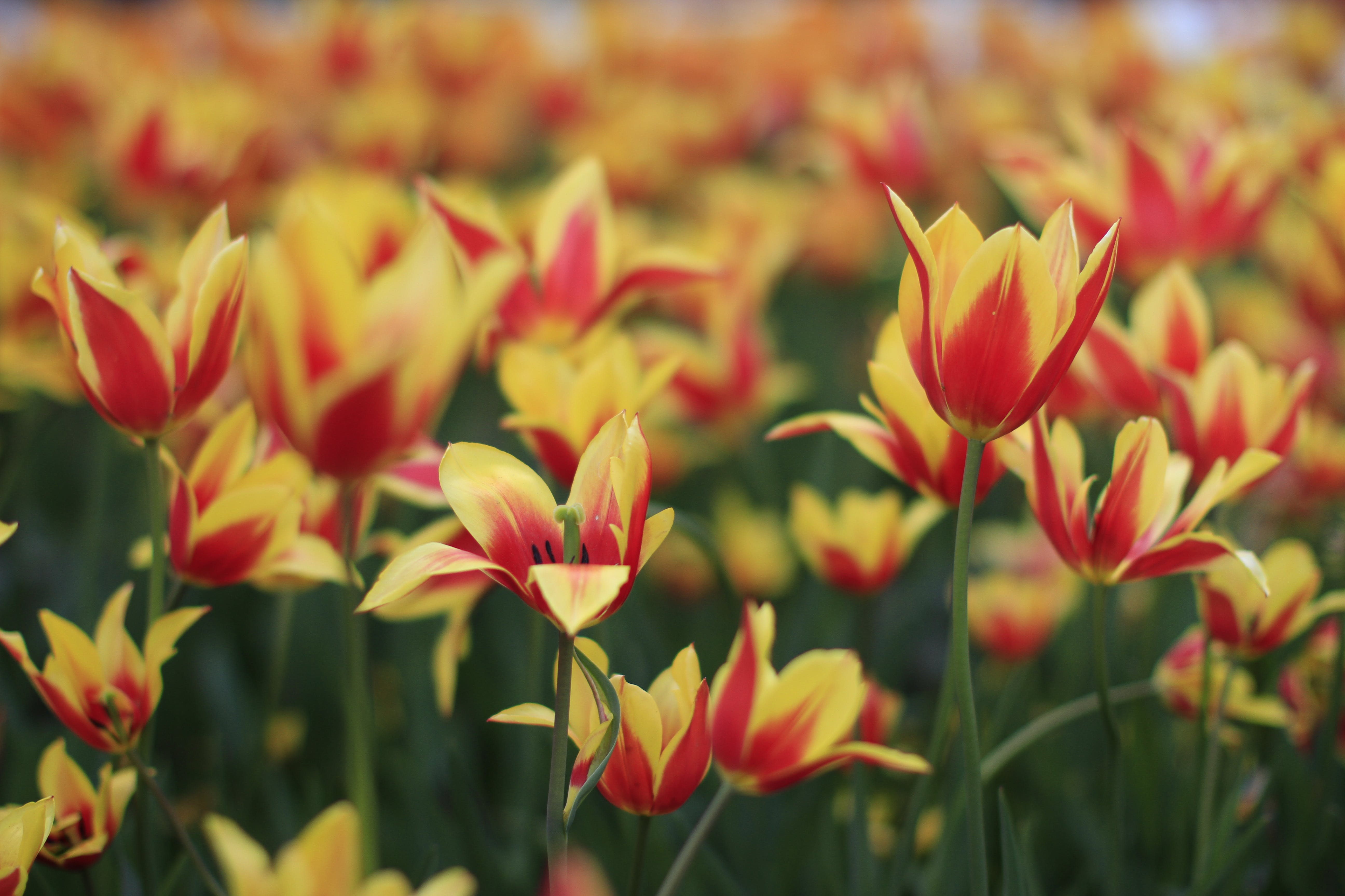 Shallow Focus Photography of Red and Yellow Flower Field