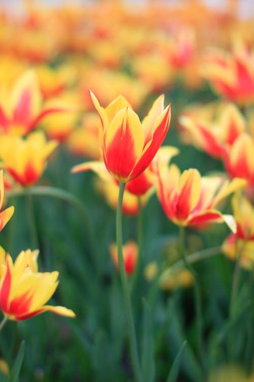 Free stock photo of garden, orange, tulip, tulips