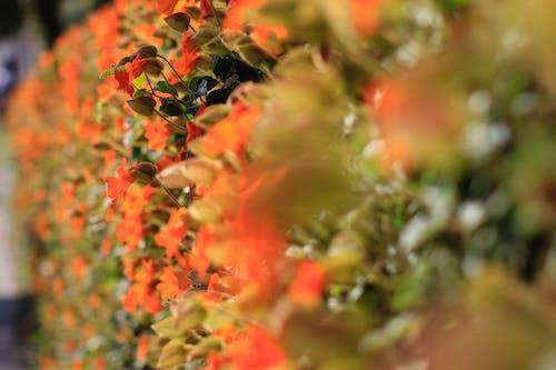 Free stock photo of bush, depth of field, orange flowers