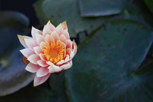 Free stock photo of 50mm, F1.2, lotus, pink flower