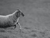 black-and-white, animal, sheep