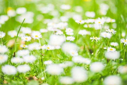 Kostnadsfri bild av äng, blomma, blommor, flora