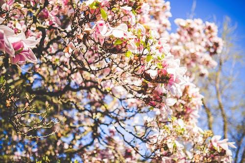 Foto stok gratis berkembang, bunga sakura, bunga-bunga, flora