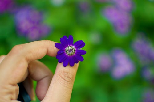 Person Holding Purple Petaled Flower in Bloom at Daytime