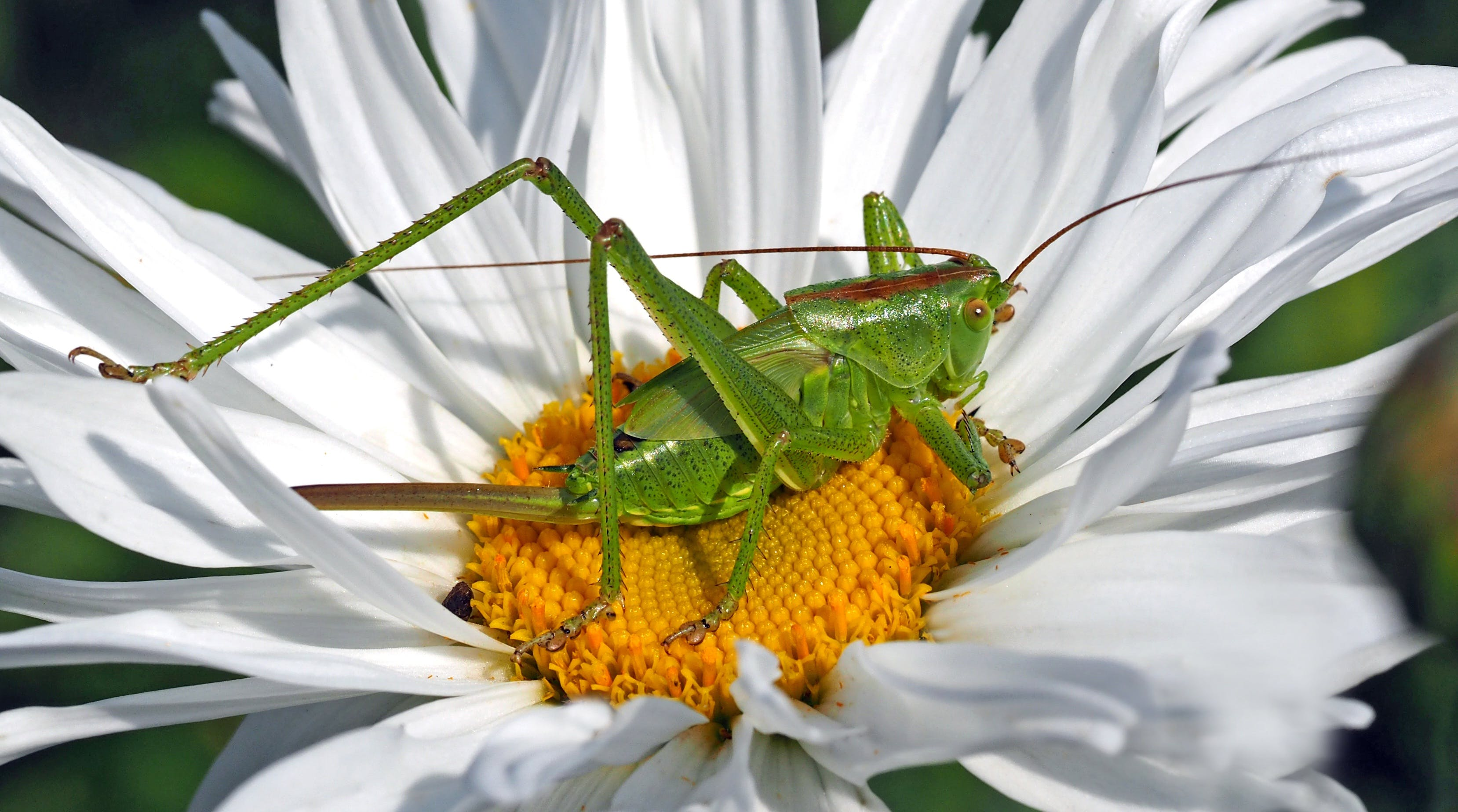 Green 8 Legged Insect on White and Yellow Multi Petaled Flower during Daytime