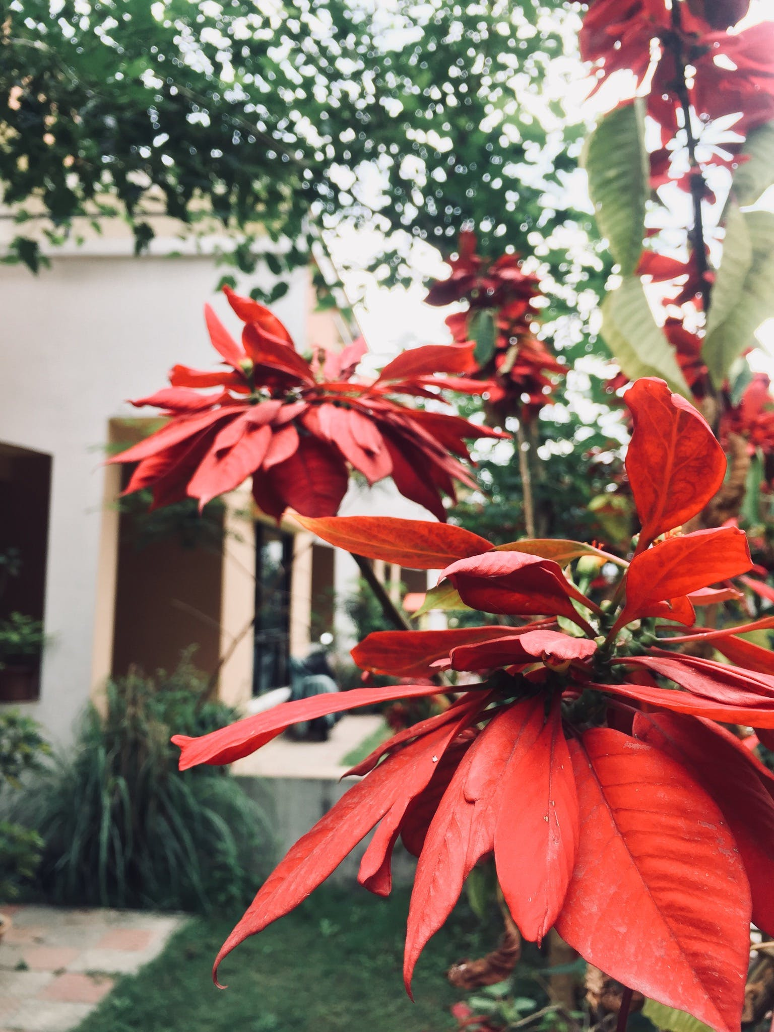 Free stock photo of red flower