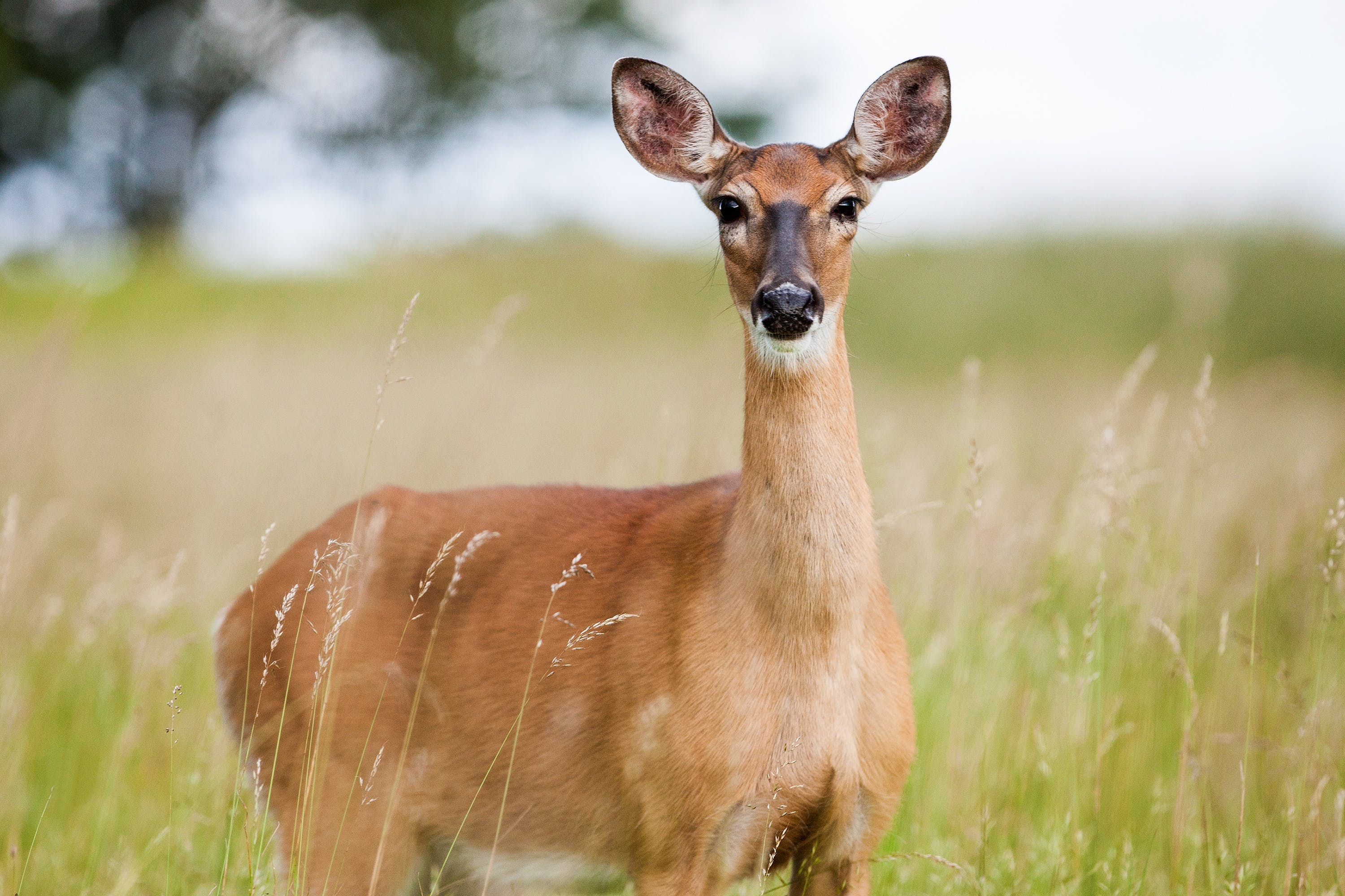 Brown Fawn in Field
