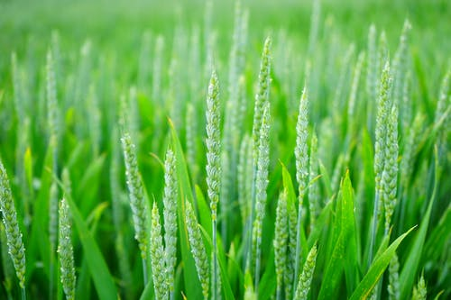 Immagine gratuita di agricoltura, azienda agricola, campo, campo di grano
