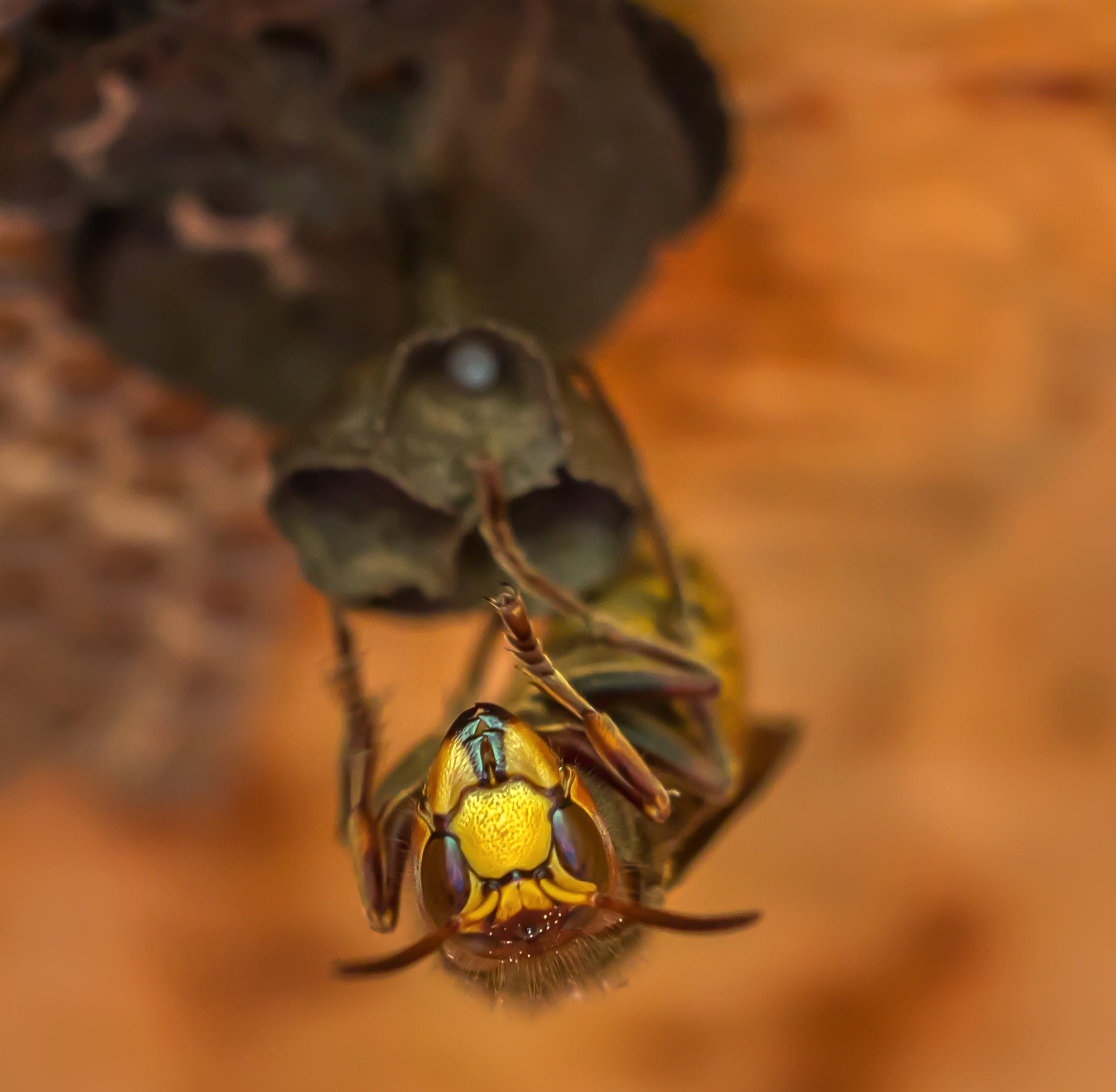 Kostenloses Stock Foto zu biene, fokus, insekt, makro