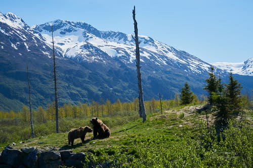 Two Brown Bears on Grass Field