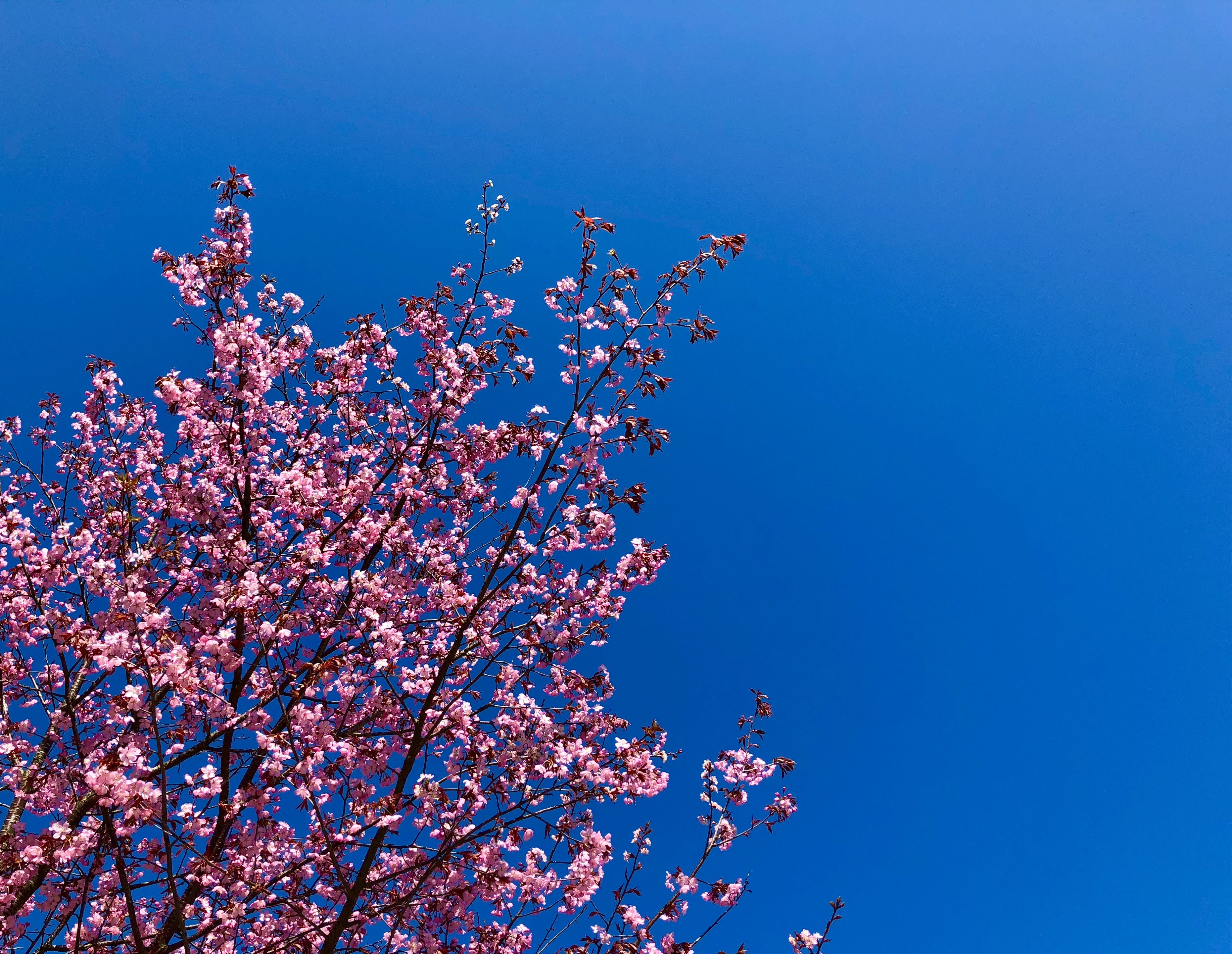 Free stock photo of beautiful flowers, blue sky, cherry blossom, cherry blossoms
