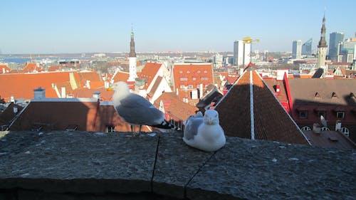 Free stock photo of european herring gulls, gulls, roofs