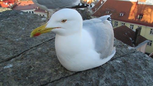 Free stock photo of european herring gull, gull