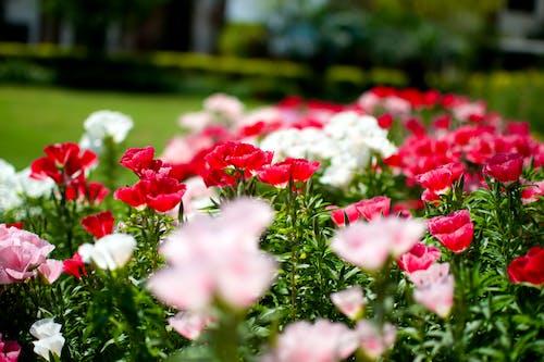 天性, 粉红色, 綠色, 红人 的 免费素材照片