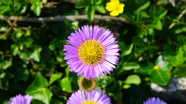 Ảnh lưu trữ miễn phí về hệ thực vật, hoa cúc, màu tím, màu xanh lá
