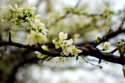 Cherry tree twigs with white blossoming flowers in early spring