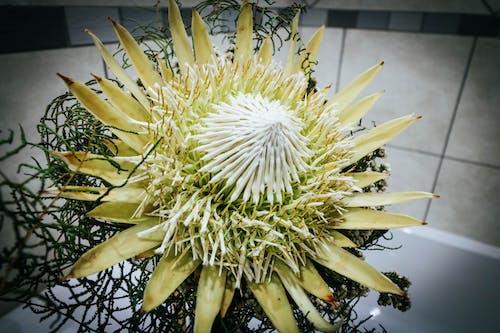 Foto d'estoc gratuïta de blanc, flor, nupcial, protea