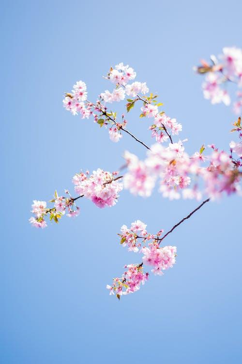 Kostenloses Stock Foto zu baum, blau, blüte, fokus