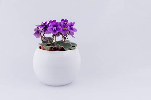 Photos gratuites de violettes africaines