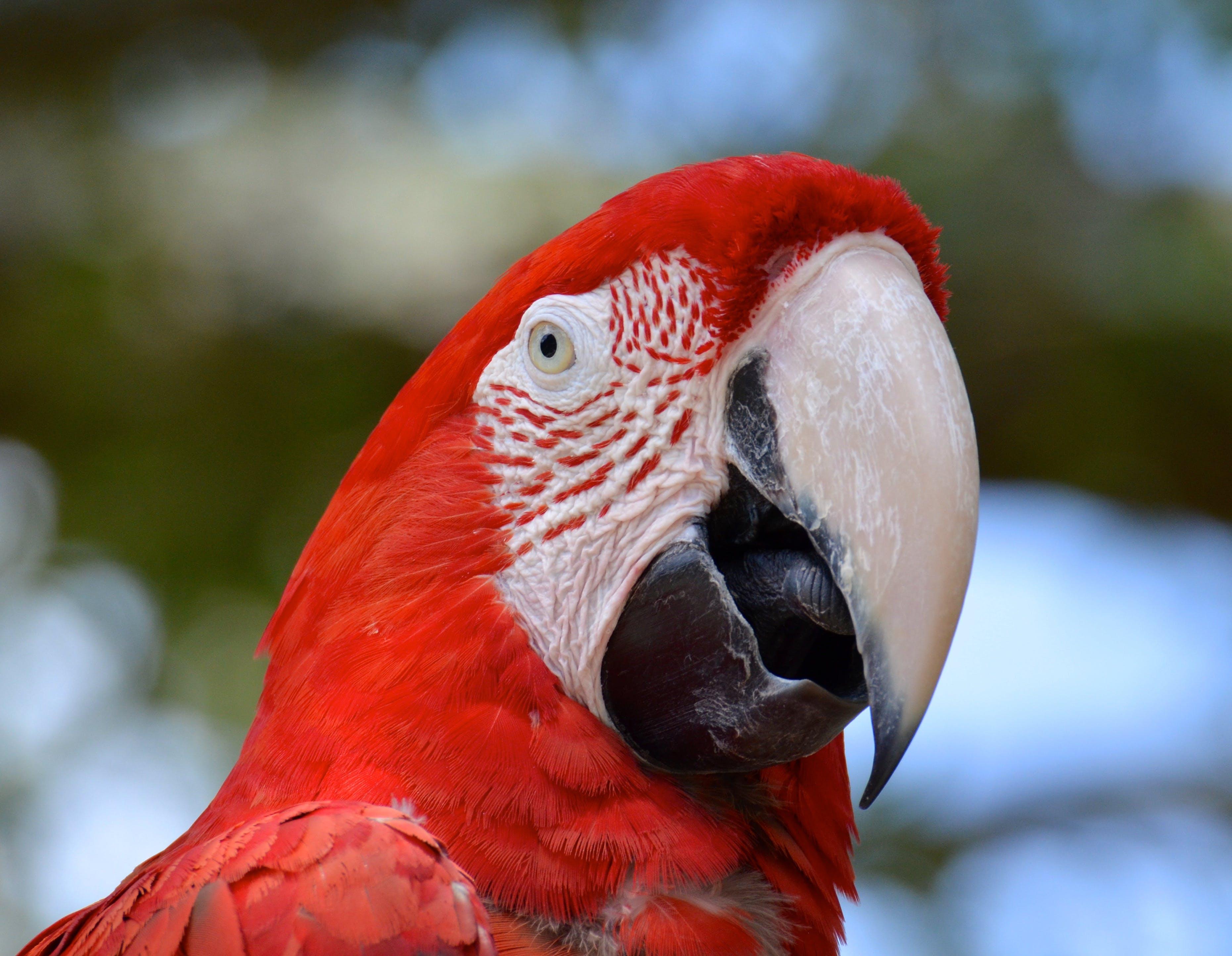 Free stock photo of bird, red ara
