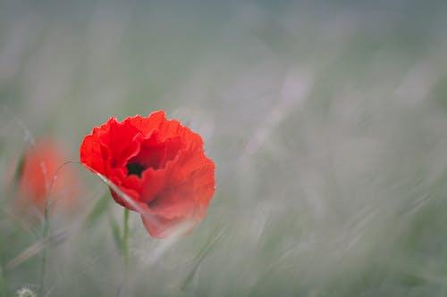 Foto d'estoc gratuïta de anzac dia, flor, flora, florir