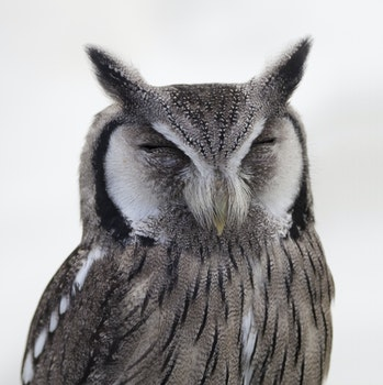Gray White Snow Spotted Owl Close Up Photo