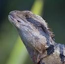 animal, lizard, reptile