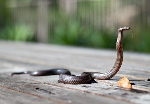 Foto d'estoc gratuïta de a l'aire lliure, animal, cobra, exterior