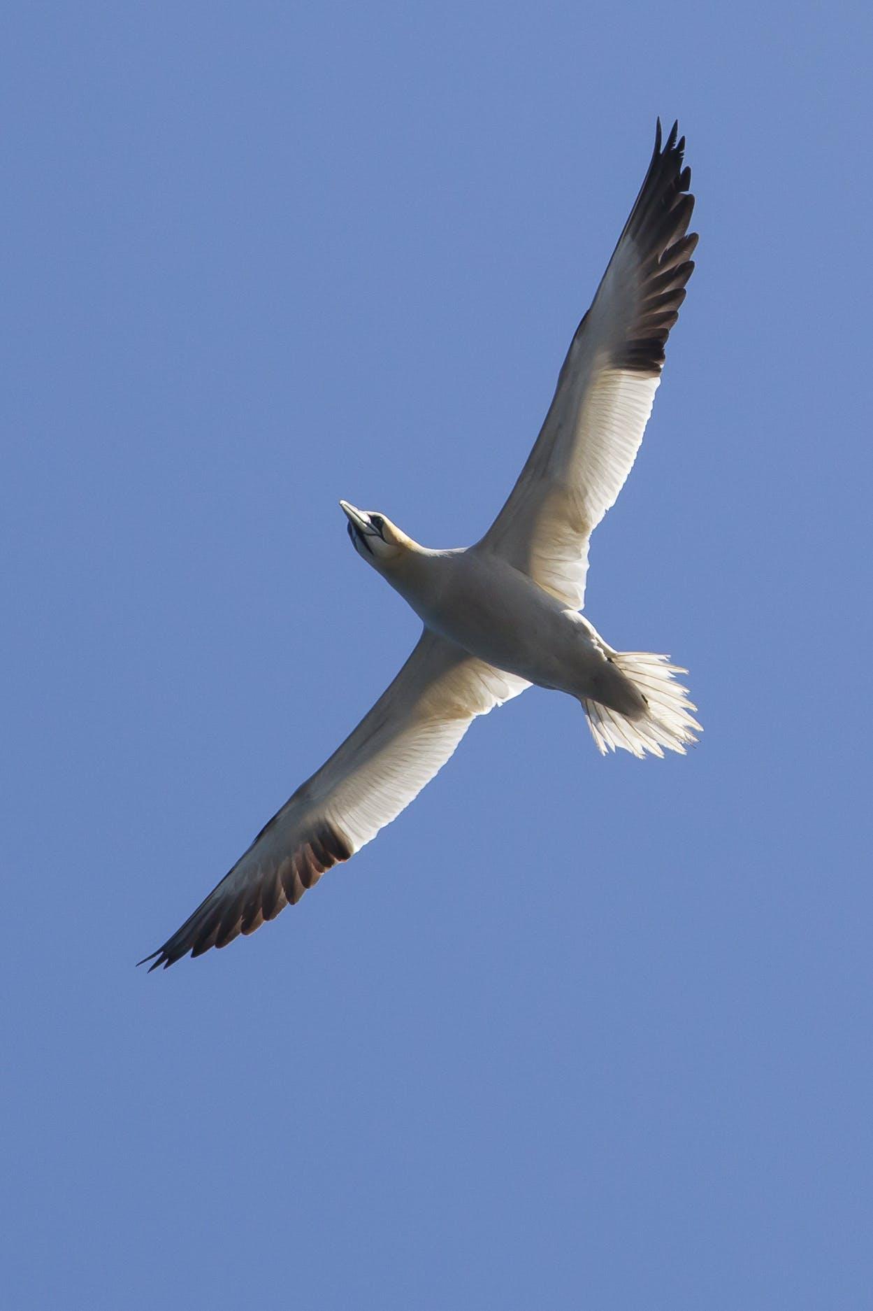 Free stock photo of bird, gannet, nature
