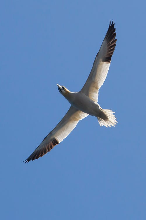 Free stock photo of gannet, nature